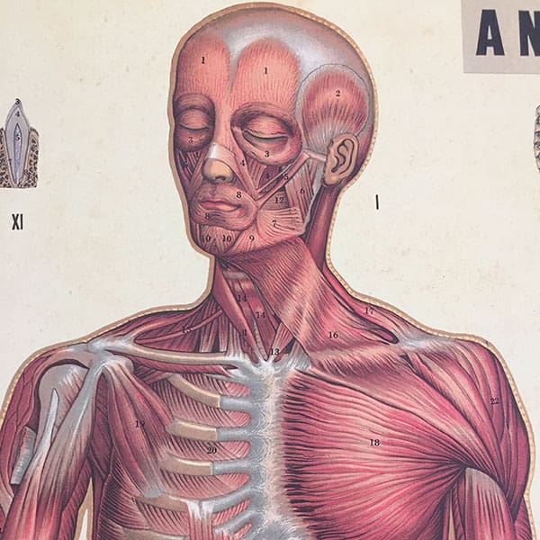 Schulkarte Anatomie - Medical Art & More | medicalartandmore